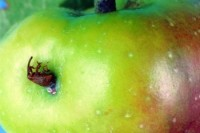 charançon de la pomme (adulte)