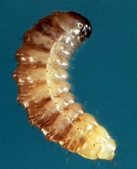 charançon de la prune (larve)