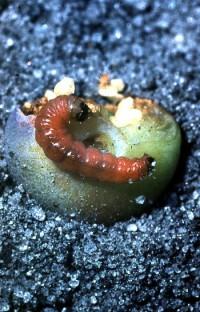 noctuelle des cerises (larve et dégât)