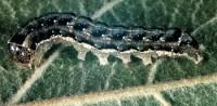 noctuelle des fruits verts (larve)