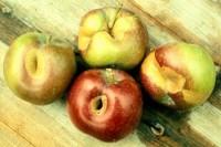 noctuelles du fruit vert, des fruits verts et cuivrée (dégât sur fruit)