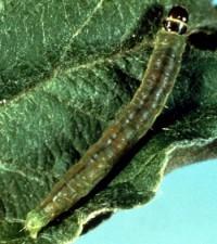 tordeuse à bandes obliques (larve)