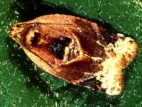 tordeuse à bandes rouges (adulte)