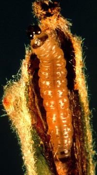 tordeuse orientale du pêcher (larve)