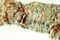 cochenille ostréiforme (dégât)