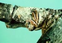 cochenille virgule (adultes femelles)