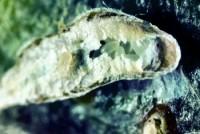 cochenille virgule (œufs)