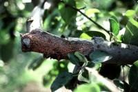 dépérissement nectrien (branches)