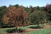 pourriture du collet (arbre)