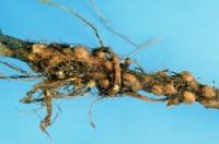 puceron lanigère du pommier (dégât)