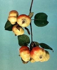 puceron rose du pommier (dégâts sur fruits)
