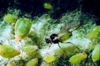 puceron vert du pommier (adulte et larves)