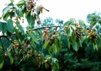 scolyte des arbres fruitiers (dégât)