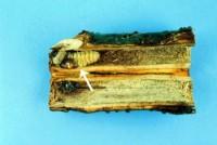 scolyte des arbres fruitiers (larve)