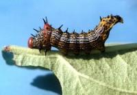 Chenille à bosse rouge (larve)