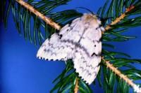 spongieuse (adulte femelle)