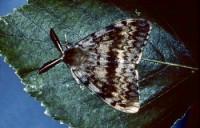 spongieuse (adulte mâle)