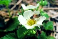abeilles (adulte)
