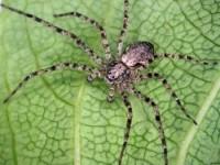 araignée crabe (adulte Philodromidae)