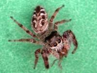 araignée sauteuse (adulte)