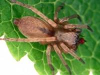 araignées errantes (adulte Clubionidae)