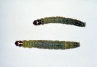enrouleuse panachée (larve)