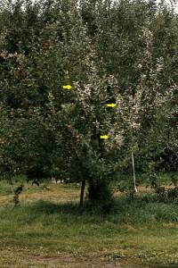 maladie du plomb (arbre)