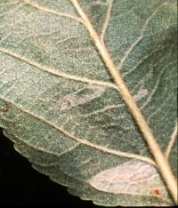 mineuse marbrée (dégât)