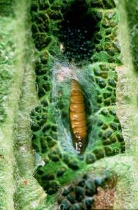 mineuse marbrée (nymphe parasitée)