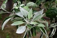 oïdium du pommier et du poirier (feuille)