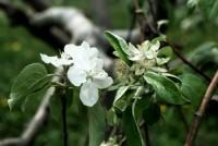 oïdium du pommier et du poirier (fleur)