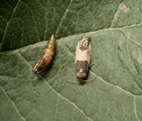 pique-bouton du pommier (nymphe et adulte)