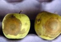 pourriture blanche (fruit)