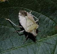 punaise marbrée (adulte)