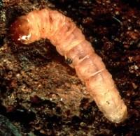 sésie du cornouiller (larve)