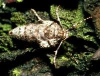 arpenteuse tardive (adulte femelle)