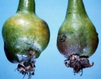 cécidomyies des poires (dégât)