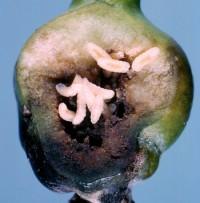 cécidomyies des poires (larve)