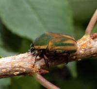 hanneton vert (adulte)