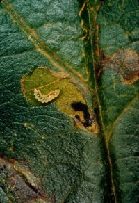 mineuse de Slingerland (larve et dégât)