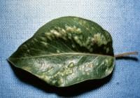 phytopte du poirier (dégât)