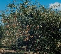 phytopte du prunier de pépinière (dégât)