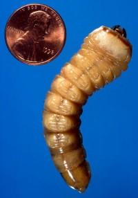 priones (larve)