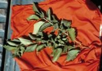 puceron noir du cerisier (dégât)