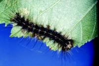spongieuse (larve)