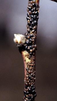 puceron noir du pêcher (adulte)