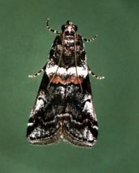 pyrale tricolore (adulte)