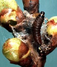 pyrale tricolore (larve)