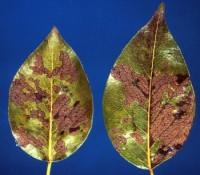 tenthrède-limace des rosacées (dégât)