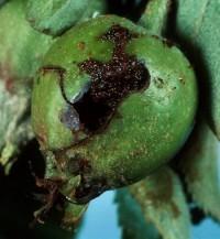 hoplocampe des pommes (dégât)